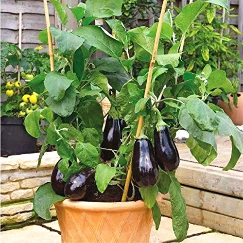 200pcs graines noires Aubergine - diamant Heirloom russe bio légumes semences de plantes non-OGM pour la maison et le jardin 1
