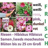 Blumensamen  Drachenrose  Grün Weiss Rosen Samen Winterfest 25 Stück