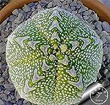 Große Förderung! Semillas De Flores 100 Samen / Lot Succulents Rohstein Kakteensamen Vorbauten Tetragonia Topfblumen Fleischig, # 8IYHO0