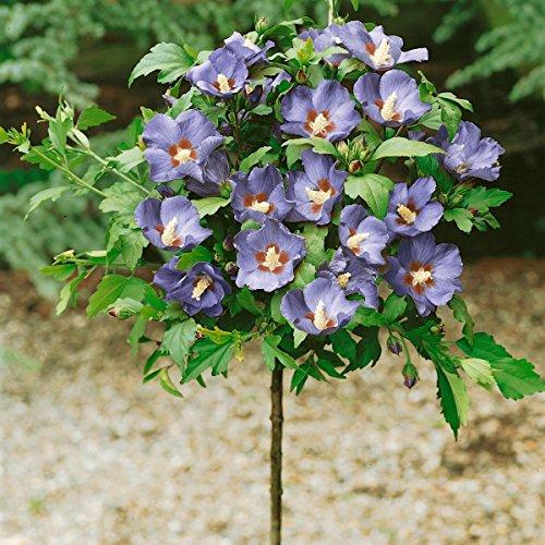 """Dominik Blumen und Pflanzen, Hibiskus """"Oiseau bleu"""" zum Stämmchen gezogen, blau blühend, 1 Pflanze, 15 - 20 cm Krone, ca. 80 cm hoch, 2 Liter Container, plus 1 Paar Handschuhe gratis"""
