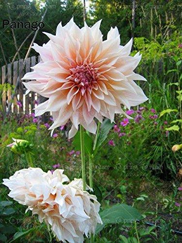 Go Garden 50 Teile/beutel Dahlie Blume Dahlie Bonsai Blume Pflanze Helle Mix Farbe Dahlie Blumen Chinesische Pfingstrose Hausgarten Topfpflanzen: 6