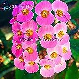 2016Rare 50Grün Christusdorn (Euphorbia) Samen Schöne Hochzeit Flower Pflanzen für Home Garten, sehr einfach wachsen Shown In Desc lichtgrün