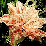 Yukio Bauergarten - 50 Stücke exotisch Lilium Asiaticum Blumensamen Trompetenlilien frosthart (Bio-Saatgut), geeignet für Töpfe auf dem Balkon, Terrasse
