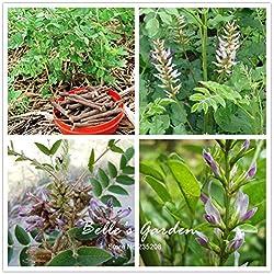 150pcs Glycyrrhiza glabra Semillas Semillas de raíz de regaliz Flor Bonsai DIY Planta de bricolaje Home Medicina natural Planta de tiesto jardín chino