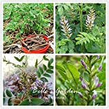 150pcs Glycyrrhiza glabra Graines Réglisse Graines de fleurs Bonsai plante bricolage médecine chinoise Herb jardin Plante en pot bricolage