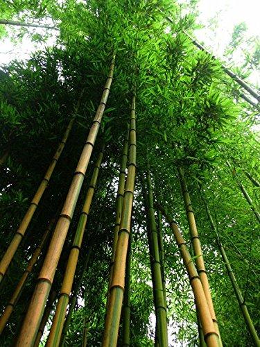 Goldener Bambus 50 Samen -Winterfest- 'Phylostachys aurea' (Bambus Golden)