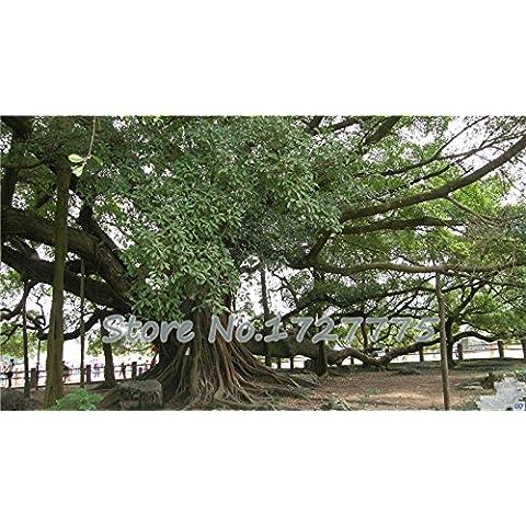 2015 semi 50pcs di alta qualità Ficus