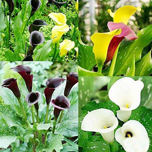 1Pcs Calla Glühlampen (nicht Seeds) 13 Arten Bunte Calla-Lilien seltene Pflanzen Topfblumen Freies Verschiffen