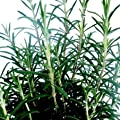 Bio Gourmet-Rosmarin Kräuterpflanze von LÀBiO! Kräuter - Du und dein Garten