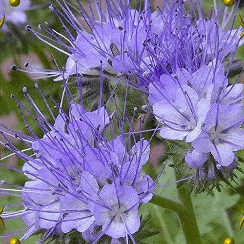 Portal Cool 1000 Lacy Phacelia Wild Seeds - Everwilde Farms Mylar-Samen-Paket (Lacy Phacelia Samen)