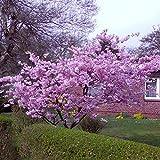 Dominik Blumen und Pflanzen, Japanische Blütenkirsche, Prunus serrulata, rosa blühend, 1 Strauch, 30 - 40 cm hoch, 3 Liter Container, plus 1 Paar Handschuhe gratis