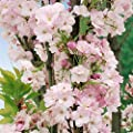 Japanische Säulenzierkirsche weiß-rosa blühend, 2 Pflanzen von Amazon.de Pflanzenservice - Du und dein Garten