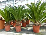 XL Palmfarn 75 - 90 cm Cycas Revoluta Sagopalme Palme, innen + außen