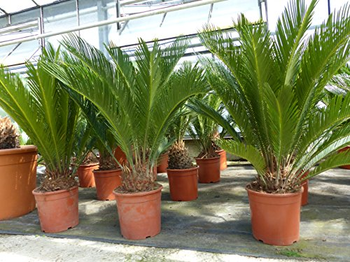 B-Ware XL Palmfarn 80-100 cm Cycas Revoluta Sagopalme Palme, innen + außen