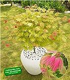 "BALDUR-Garten Ahorn""Moonrise"" Acer shirasawanum, 1 Pflanze Ahornbaum winterhart"
