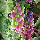 Kaimus Fruchtsamen Weinrebe Samen Regenbogen Trauben Samen Traubenkerne 30pcs Seltene Arten Bonsai Obst Samen für Hausgarten Bepflanzung(Gelegentliche Lieferung)