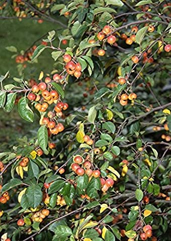 Malus Crab Apple Tree 'Evereste' in a 12 Litre