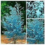 50 semillas de eucalipto - Eucalyptus gunnii flores grandes en Magnificent color Combinación libre del envío