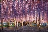Leinwandbild 120 x 80 cm: Riesige Wisteria Pflanze im Ashikaga Flower Park in Tochigi, Japan von Jan Christopher Becke - fertiges Wandbild, Bild auf Keilrahmen, Fertigbild auf Echter Leinwand, Lein.