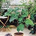 Feigenbaum von Meingartenshop bei Du und dein Garten