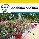 SAFLAX - Anzucht Set - Bonsai - Wüstenrose - 8 Samen - Adenium obesum