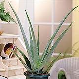 Aloe Vera planta, 1 plant