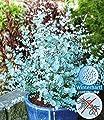 BALDUR-Garten Winterharter Eukalyptus 'Azura®', 1 Pflanze Eucalyptus gunni von Baldur-Garten auf Du und dein Garten