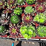 Sempervivum,Hauswurz, 4 schöne große Pflanzen in 9er Töpfen,verschiedene Sorten,%%50% Rabatt%%