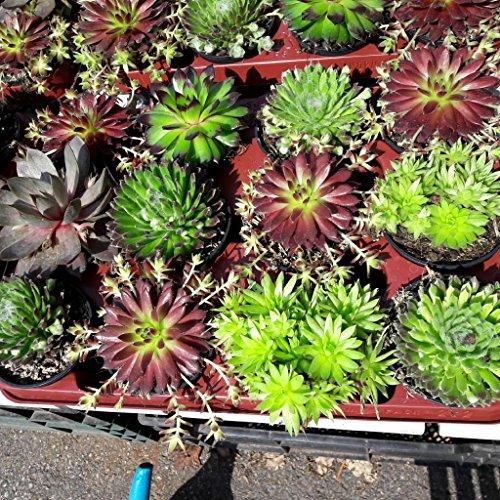 Sempervivum,Hauswurz, 4 schöne große Pflanzen in 9er Töpfen,verschiedene Sorten - Schöne Pflanzen