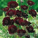 Rara chocolate Semillas Flor del cosmos, Paquete Profesional, Bella Coreopsis Nueva Variedad # NF823