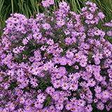 Herbstaster ( Aster novae-belgii ' Rosenhügel ' )