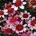 Mädchenauge ( Coreopsis rosea SWEET DREAMS ) von Lichtnelke Pflanzenversand - Du und dein Garten