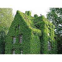 Ivy Seeds 40 piezas, AUTFIT Alpinismo Semillas de Enredadera para Balcones, Jardín, Patio,Hogar