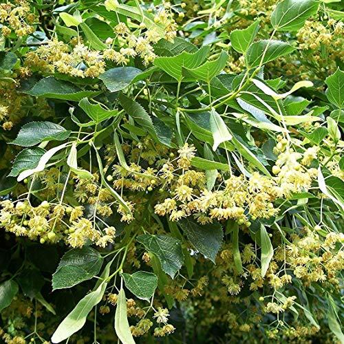 PLAT FIRM GERMINATIONSAMEN: 2+ SEEDS: Amerikanische Linden Tree Seeds (Tilia americana) FROZEN Samenkapseln