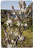 Portal Cool Asphodelus ramosus 'Branching Asfodelo' [Es. Olbia, Sardegna] 45 Seeds