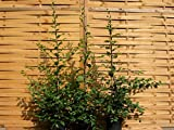 5 Stück Carpinus betulus * (Weißbuche oder Hainbuche), Weißbuchenhecke, Hainbuchenhecke * Topf 5 Liter 125-150 cm