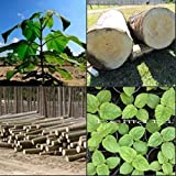 Paulownia elongata más de 100 semillas frescas regalo real árbol de crecimiento rápido