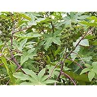 Planta de aceite de ricino - Ricinus communis - 6 semillas