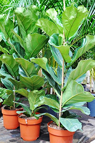 Palmenmann Ficus (Geigenfeige) - Ficus lyrata