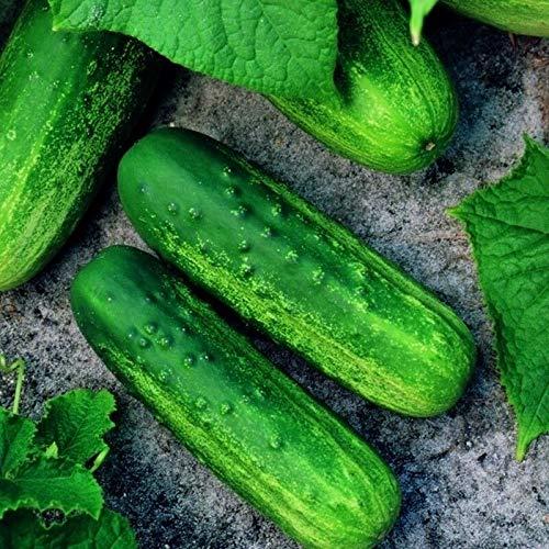 PLAT FIRM Germination Les graines: 25 - Graines: Vlasstar F1 Concombre Hybrid Seeds - cornichon vert connu pour sa capacité d'adaptation !!