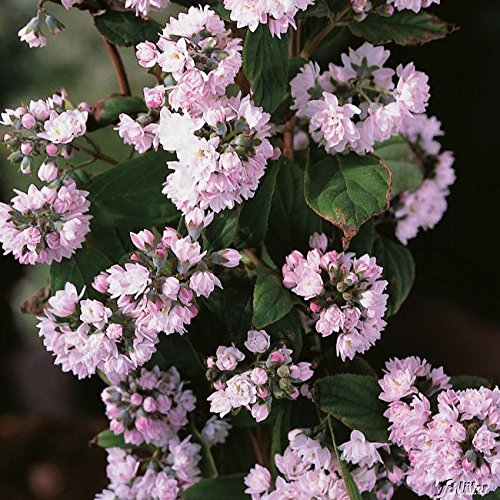 OBI Pom-Pom-förmige Blüten