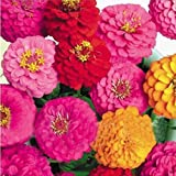 50pcs Zinnia Elegans Cut Cornflower Multicolour Blooms