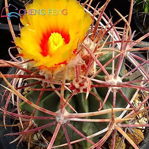Pinkdose Nouveaux Arriva 30pcs / Paquet bureau Succulentes plantes plantes antiradiation cactus importées bonsaïs hybrides plantes à fleurs: Deep Blue
