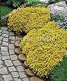 Blumensamen 50pcs Sedum-Acre goldenen Teppich, Gelb Stonecrop Bodendecker Blumen Bonsai Samen