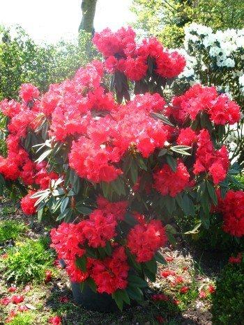 Rhododendron Wilgens Ruby 40 cm hoch im 4 Liter Pflanzcontainer
