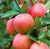 ALBERO DI MELO ROSA 'PINK LADY' - pianta vera da frutto da esterno immagine