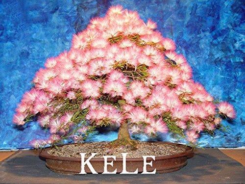 Nouvelle arrivée 2015 !! 20 graines / paquet bonsaï graines Albizia fleur appelée Mimosa Arbre soie, fleur en pot plantes pour le jardin SeedsAndPlants