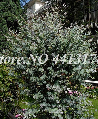 100 rare Samen Eukalyptusbaum