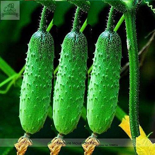 Graines Heirloom Automne aiguillat Petit concombre, paquet Al, 50 graines, Accueil cultivé Légumes bio