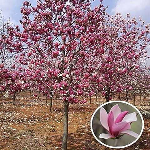 Paleo 10pcs jardín magnolia rojos denudata semillas del árbol de césped patio de la planta arbusto caducifolio